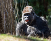 Adult Male Silverback Gorilla Royalty Free Stock Photography