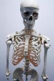 Adult male skeleton Stock Photos