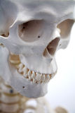 Adult male skull. In white Stock Images