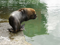 Adult Male South American Sea Lion Going Into The Water. At The Harbour Of Puerto Montt, Chile Stock Images