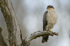 Adult male Sparrowhawk Accipiter nisus standing on the dead tre branch Royalty Free Stock Photography