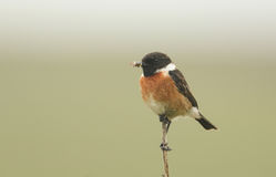 An adult male Stonechat Saxicola torquata perched on the tip of a branch with a beak full of insects for its babies. Royalty Free Stock Photo