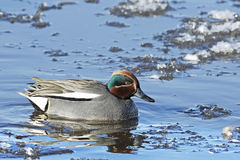 An adult male Teal (Anas crecca) swimming on an icy lake. Stock Photo