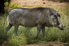 Adult Male Warthog. (Phacochoerus africanus) The Warthog or Common Warthog is a wild member of the pig family that lives in grassland, savanna, and woodland in Stock Images