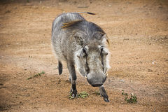 Adult Male Warthog Stock Image