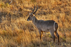 Adult male Waterbuck. Male Waterbuck in the yellow grass of an African park horizontally Royalty Free Stock Images