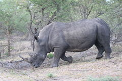 Adult male white Rhino Stock Photos