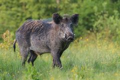 Adult male wild boar, sus scrofa, in spring fresh grassland with flowers. Dangerous wild animal with big tusks in natural forest green summer environment stock photos