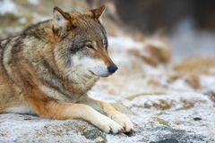 Adult male wolf rests in the forest in early winter stock image