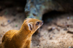 Adult male yellow African mongoose in Prague Zoo. Royalty Free Stock Photo