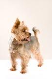 Adult male yorkshire terrier. Studio portrait of adult male yorkshire terrier Royalty Free Stock Image