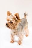 Adult male yorkshire terrier. Studio portrait of adult male yorkshire terrier Royalty Free Stock Images