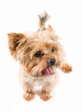 Adult male yorkshire terrier. Studio portrait of adult male yorkshire terrier Stock Photo
