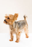 Adult male yorkshire terrier Royalty Free Stock Photo