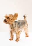 Adult male yorkshire terrier. Studio portrait of adult male yorkshire terrier Royalty Free Stock Photo