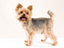 Adult male yorkshire terrier Royalty Free Stock Images