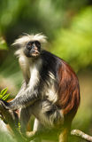 An adult male of the Zanzibar Red Colobus. Adult male Zanzibar Red Colobus monkeys boast an outstanding cover of thick black and reddish fur and amazing long Stock Photo