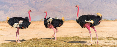 Adult males of African ostrich (Struthio camelus). African ostrich inhabits desert nature reserve not far from Eilat, Israel Stock Photography