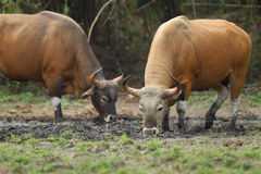 Adult males banteng in the forest Royalty Free Stock Images