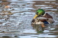 A Mallard splashes in a pond, playing and grooming himself. An adult Mallard drake splashes in a pond, playing and grooming himself Stock Photography