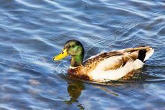 Large adult chestnut brown Mallard duck with green head. Adult Mallard Duck swimming in Orange County California. Chestnut brown duck with green head Royalty Free Stock Photography