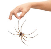 Adult man hand holding spider Stock Photography