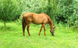 Horse is grazing on the lawn stock photo