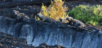 Group of marine Iguana on Galapagos Islands. Adult marine iguana on Galapagos Islands royalty free stock photography