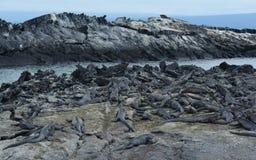 Group of marine Iguana on Galapagos Islands. Adult marine iguana on Galapagos Islands stock photo