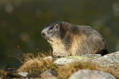 Adult marmot Royalty Free Stock Photos