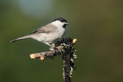 Adult Marsh Tit (Poecile palustris) Stock Images