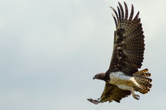 Adult Martial Eagle Flying royalty free stock photography