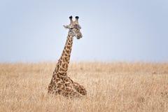 Adult Masai Giraffe. Masai Giraffe (Giraffa camelopardalis tippelskirchi) in grassland of Masai Mara Natinal Reserve, Kenya Royalty Free Stock Photos
