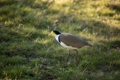 Masked Lapwing Bird Royalty Free Stock Images