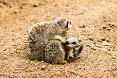 Adult Meerkat and Cubs Stock Images