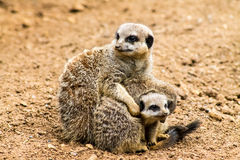 Adult Meerkat and Cubs Royalty Free Stock Photos