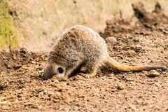 Adult Meerkat and Cubs Royalty Free Stock Images