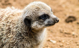 Adult Meerkat and Cubs Stock Photo