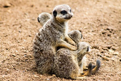 Adult Meerkat and Cubs Stock Photography