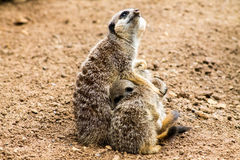 Adult Meerkat and Cubs Royalty Free Stock Photo