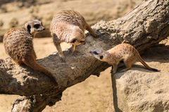 Adult Meerkats ( Suricata suricatta ) with baby. Royalty Free Stock Images
