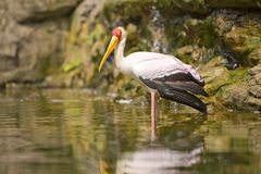 Adult Milky Stork Royalty Free Stock Image
