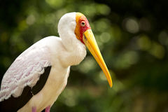 Adult Milky Stork Stock Images