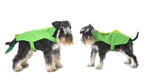 Adult miniature schnauzer stock images