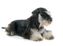 Adult miniature schnauzer royalty free stock images