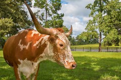Adult miniature Texas longhorn cow. Brown and white miniature Texas longhorn cow bovine head and horns in field pasture paddock meadow countryside with green Stock Photos