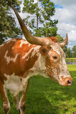 Adult miniature Texas longhorn cow. Brown and white miniature Texas longhorn cow bovine head and horns in field pasture paddock meadow countryside with green Stock Images