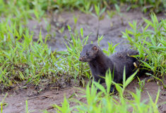Adult Mink sitting at attention. Stock Photo