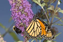 Monarch butterfly on butterfly bush flowers with a bumble bee. Adult monarch butterfly, Danaus plexippus, order Lepidoptera, with its wings folded on a royalty free stock photos