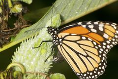 Monarch butterfly on milkweed seed pod in New Hampshire. Adult monarch butterfly, Danaus plexippus, order Lepidoptera, ovipositing on a milkweed pod in the stock image